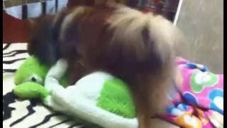 Собака жарит черепаху по полной программе