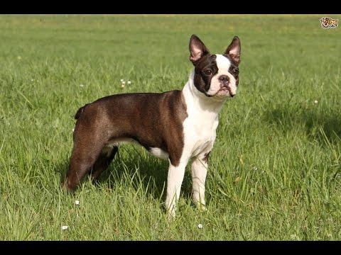 Boston Terrier / Raza de Perro