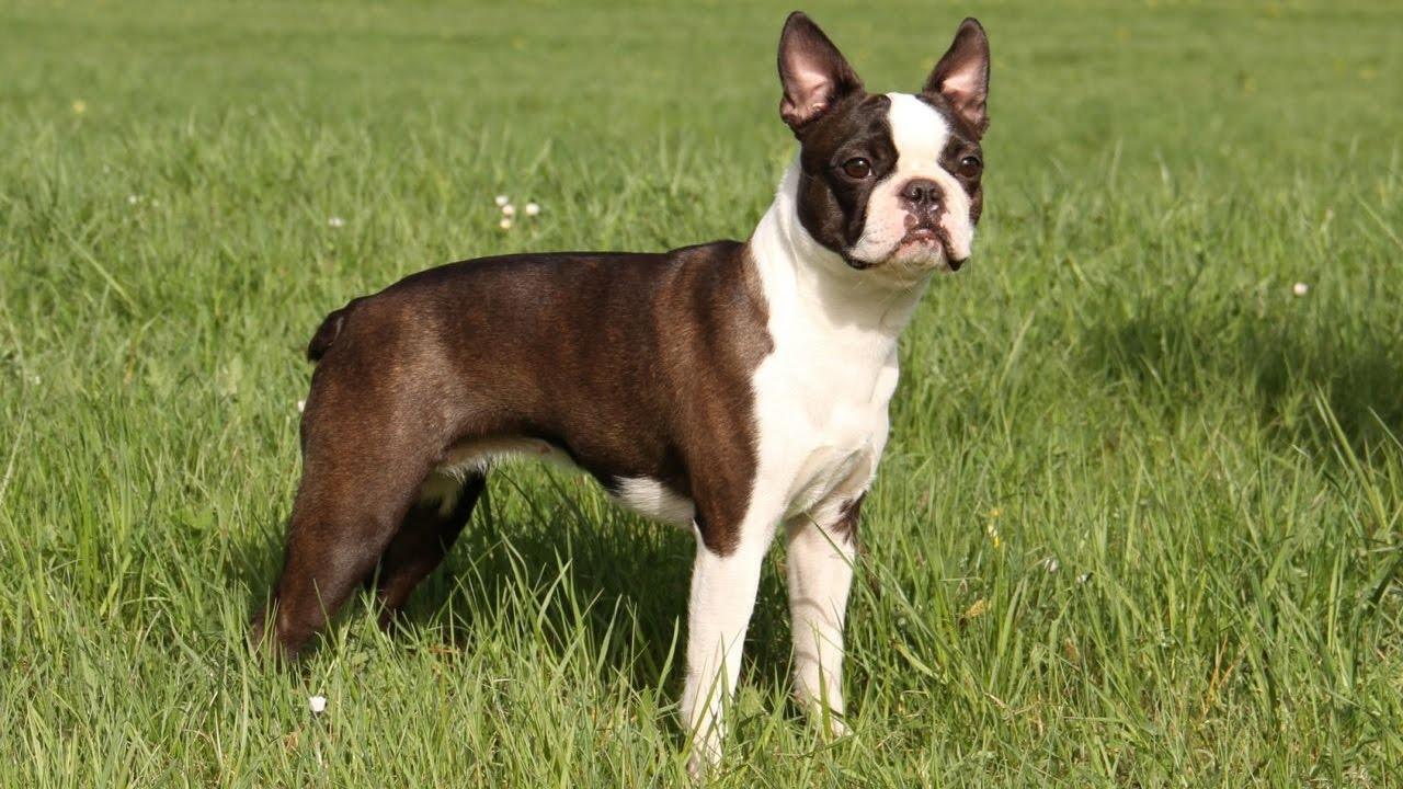 Boston Terrier Raza De Perro Youtube