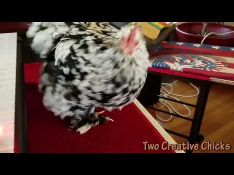 One Little Chicken's Anthem: 'America (My Country 'Tis of Thee)'