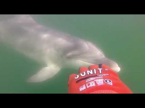 Unha visita moi cariñosa de Manoliño, o golfiño solitario da ría de Muros