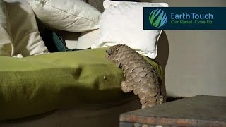 Pangolin does its T. rex walk, climbs on couch, has a snooze