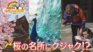 カミナリの「たくみにまなぶ」〜そういえば茨城ばっかだな〜『桜川市』ダイジェスト版(令和2年4月3日放送) 略して『カミいば』
