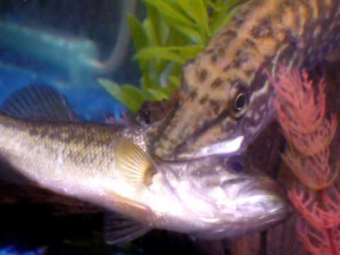 Northern Pike Eats Largemouth Bass Youtube