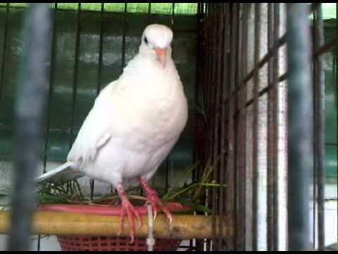 White Spotted Dove