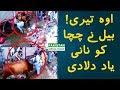 Bull Hit Two Qasai Badly | O Teri! Isko To Nani Yaad Aa Gai Hogi