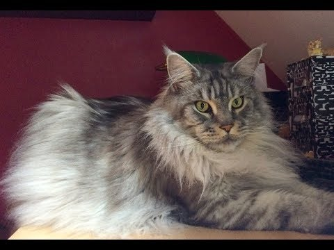 Faston Maine Coon 7 ans
