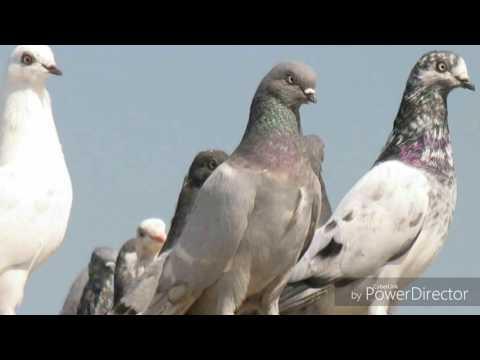 Aap Jo ji rahi hai chahiye Kabootar group Galaxy Cinema  Kabootar group
