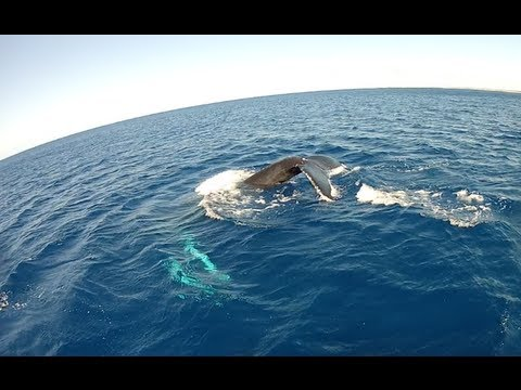 Diving in Turks and Caicos, Caribbean - Many Sharks and a Humpback Whale!