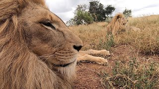 happy-birthday-george-and-yame-the-lion-whisperer