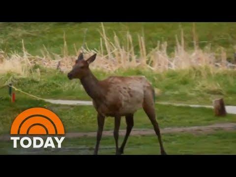 Elk Has A Joyful Splash Party In The Rain | TODAY