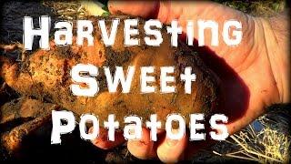 Amazing! Harvesting Sweet Potatoes