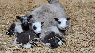 Lambing! Meet our new lambs Vlog 6