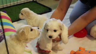 Coton Puppies For Sale - Foxy 8/4/20