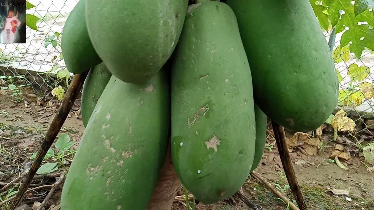 Mô hình trồng cây đu đủ lùn cao sản cho hiệu quả kinh tế cao | Cách trồng và chăm sóc cây đu đủ