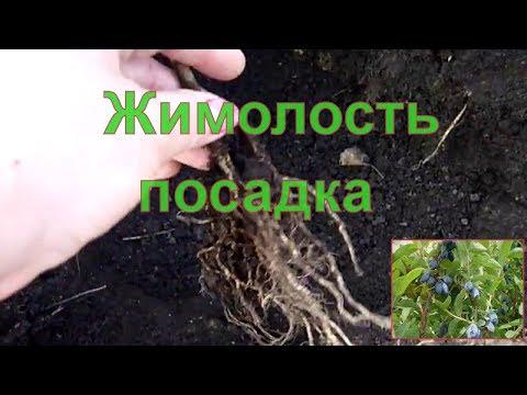 Как посадить жимолость осенью видео