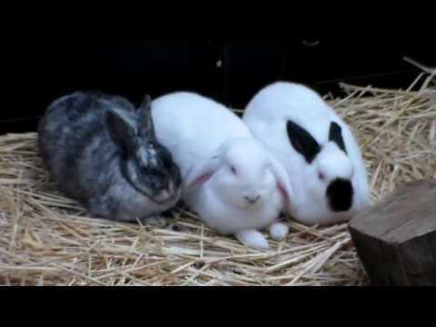 Te koop 3 konijnen