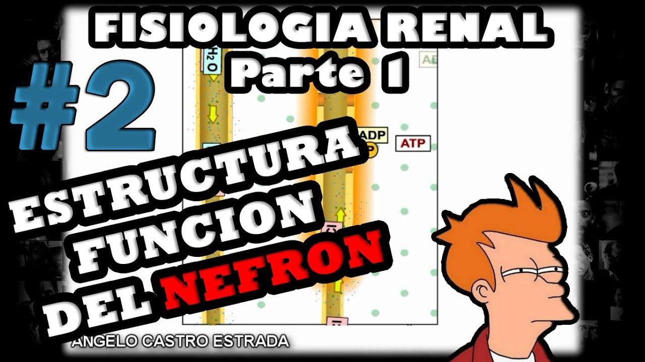 Video de Fisiologia - Fisiologia renal (la nefrona y el riñon) 2014 ...