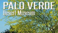 Desert Museum Palo Verde is a MUST HAVE (Cercidium 'Desert Museum')