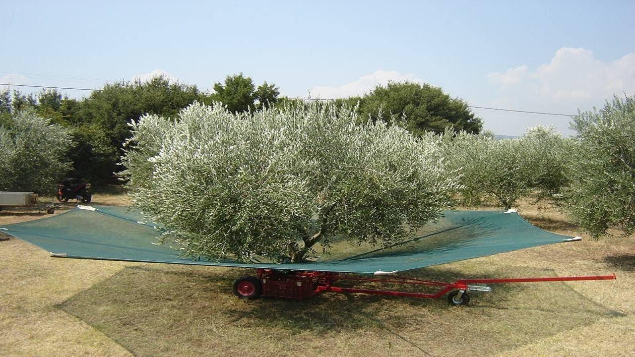 Image result for Το απίστευτο κόλπο των Κρητικών για το μάζεμα της ελιάς