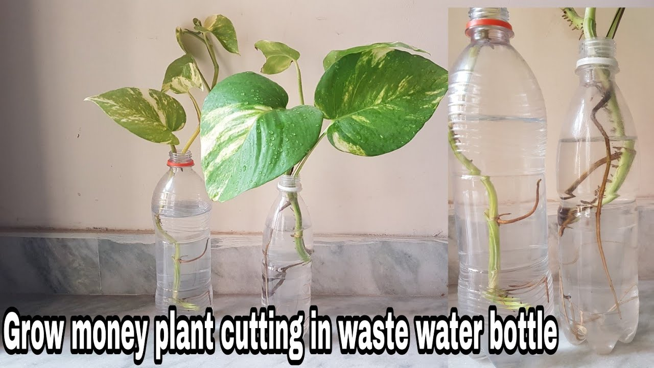 How To Grow Money Plant Cutting In Waste Water Bottle