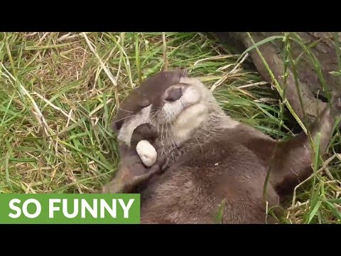 Funny otter is a rock-juggling champion!