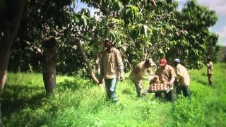 Mango ! Les fruits d'une agriculture durable