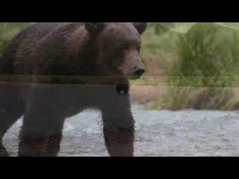 Close Encounter of the Bear Kind - Katmai, Alaska