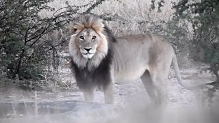 Bitterpan Lion Pride Roar And Claim Ownership of Waterhole   Kgalagadi