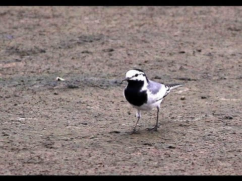 Moroccan White Wagtail, 灰背眼紋白鶺鴒
