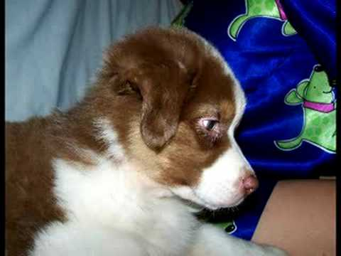 Cute Aussie Kruze Puppy