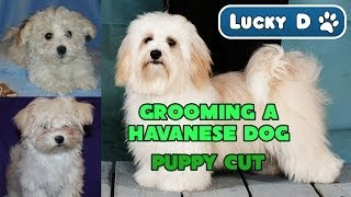 Grooming A Havanese Dog - Puppy Cut