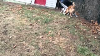 American Bulldog/mastiff Playing