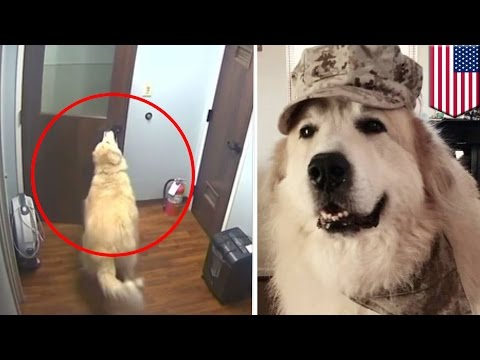 Dog escapes kennel: Smart Great Pyrenees dog gets out of cage and opens hospital doors - TomoNews
