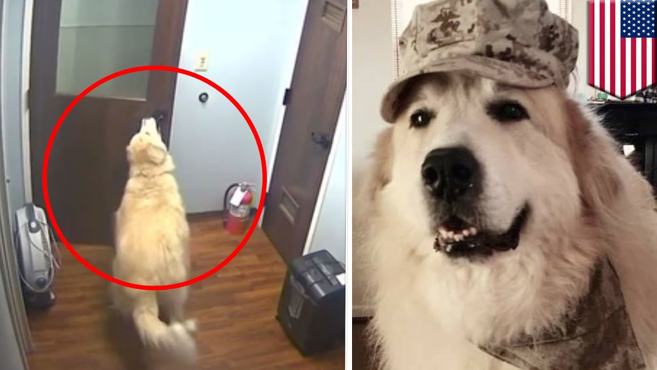 Dog Escapes Kennel Smart Great Pyrenees Dog Gets Out Of Cage And