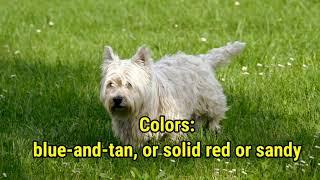 Australian Terrier Dog Breed Information