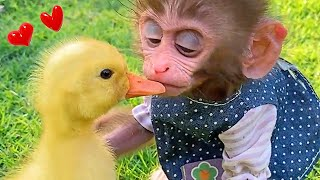 Baby monkey Bon Bon riding a bicycle and a beautiful friendship with a duckling
