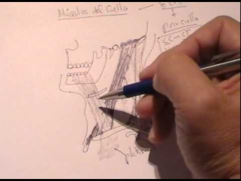 Anatomia de cuello pdf