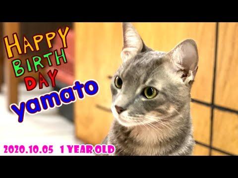 【祝1歳】猫のやまとのバースデーパーティーを手作りケーキでお祝いしてみた結果...【ヤマネコの血を引く猫】#105