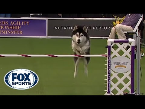 'Lobo' the Siberian Husky goes off script in the 24 inch class of agility competition | FOX SPORTS