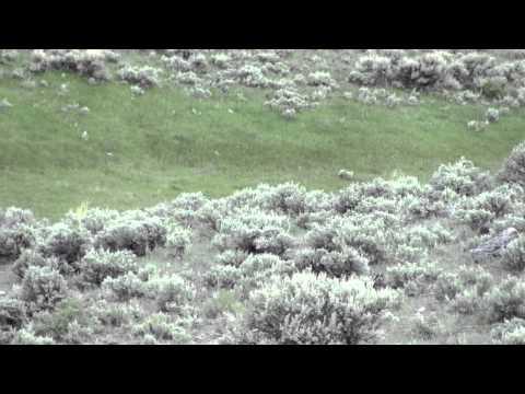 Elk Nursery Herd - Yellowstone