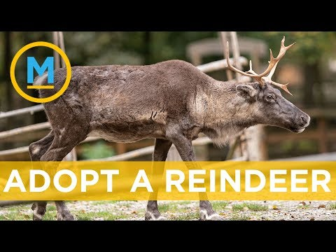 The Toronto Zoo Has The Perfect Gift For Animal Lovers, A Reindeer! | Your Morning