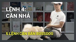 Huấn luyện chó cơ bản BoṡṡDog | Lệnh 4: Cắn - Nhả | Không cắn bậy (tay, quần áo, đồ dùng..)