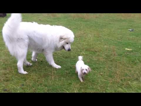 Pyrenean Mountain Dog Yogi & Bichon Peppa in the rain.