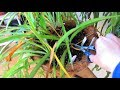 Chlorophytum comosum Pruning - How to prune dead leaves from Spider Plants