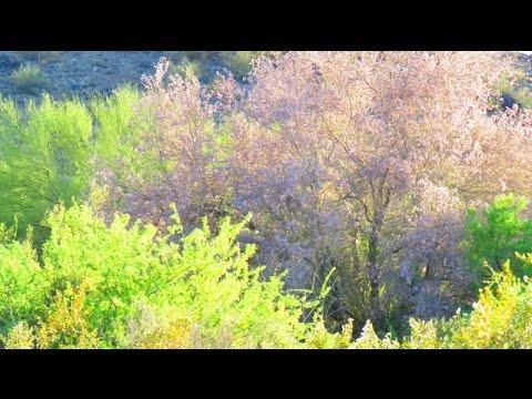 Desert Ironwood Trees in Bloom