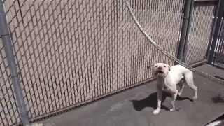 Спасение собаки питбуль на свалке