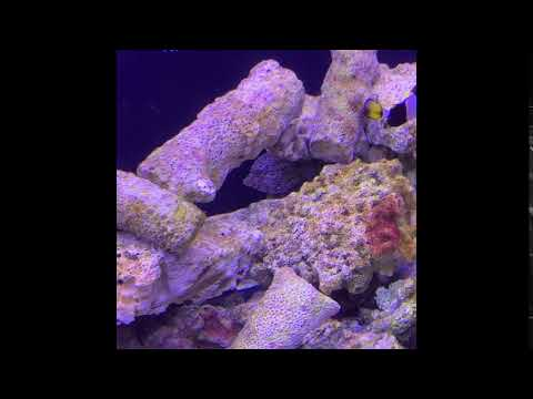 For Sale: Matted Filefish (Acreichthys Tomentosus) (female)