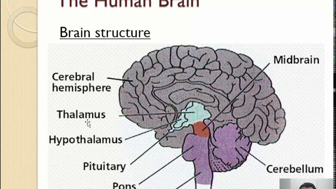 a.2 - brain structure (1/2) - youtube, Sphenoid