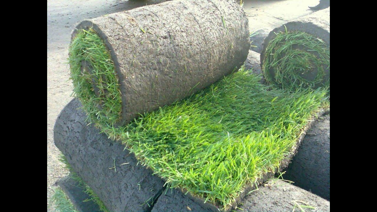Что лучше: купить рулонный газон или посеять траву самостоятельно?. В вопросе, как выбрать газон,. Набирает популярность, так называемая, газонная трава для ленивых – специальные травосмеси из неприхотливых растений, не требующих частой стрижки и полива. К газонам для ленивых можно.